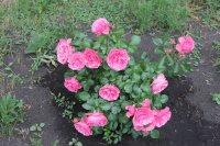 Розы 2015 preview