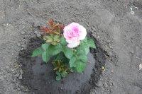 Розы 2015 foto