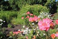 Розы в Ивановке
