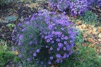 Последние осенние цветы в Ивановке...