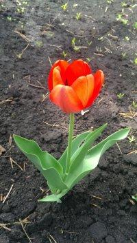 Тюльпаны 2015 стоя