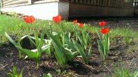 Тюльпаны 2015 лежа